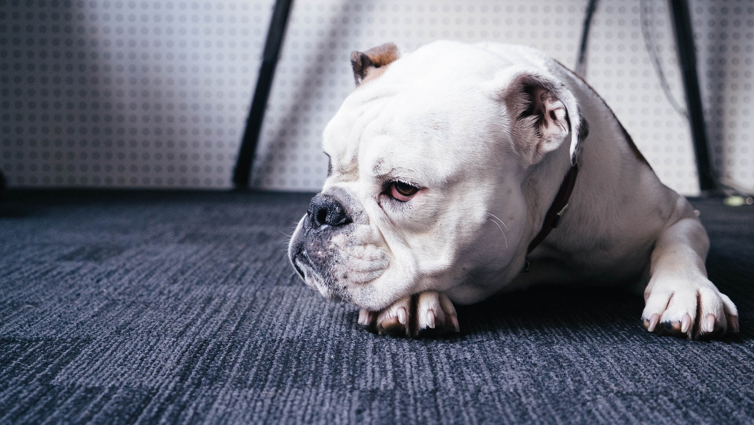 Grumpy bulldog on a carpet